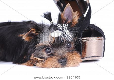 Yorkshire Terrier Pappy Portrait