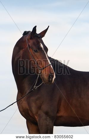 Bay horse outdoor