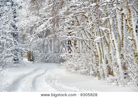 Wintry Road Through Birch Forest