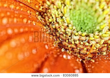 Abstract Macro Of An Orange Gerber Daisy