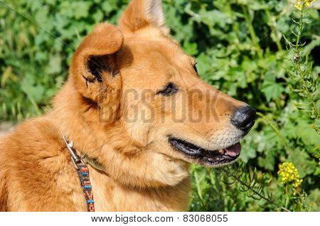 Portrait Of Ginger Dog Looking Away