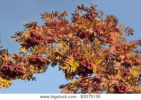 Bright Autumn Twig Of Red Rowan