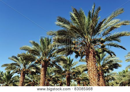 Palm Tree Plantation