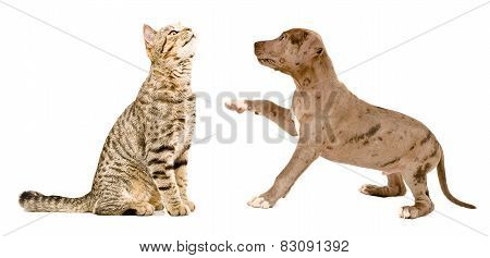 Scottish Straight cat sniffing a pit bull puppy