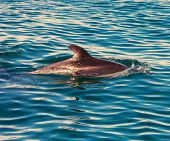 image of dolphin  - Dolphin in ocean - JPG