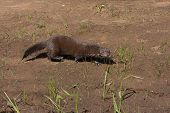 foto of mink  - Adult brown mink walking along a riverbank - JPG