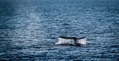 image of whale-tail  - Gray whale watching in the Channel Islands near Ventura - JPG