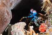 stock photo of biodiversity  - Peacock Mantis Shrimp hiding in a dark hole on a coral reef - JPG