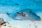picture of stingray  - Blue Spotted Stingray feeding on a sandy sea floor - JPG