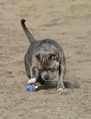 picture of pitbull  - A blue nose pitbull at the beach playing with a toy in the sand - JPG