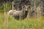 stock photo of grass area  - A Bighorn Sheep Grazing on Bear Grass in Many Glacier an Area of Glacier National Park - JPG
