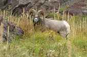 picture of grass area  - Bighorn Sheep Grazing on Bear Grass in Many Glacier an Area of Glacier National Park - JPG