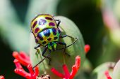 image of shield-bug  - a lychee Shield Bug on green fruit