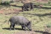 foto of wild hog  - Two wild boar sniffing for roots on the forest floor - JPG