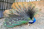 picture of female peacock  - Beautiful peacock with feathers out in a farm - JPG