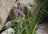 stock photo of peer  - garden or wood mouse peering out from its hiding place - JPG