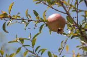 picture of pomegranate  - While immature pomegranate fruits on a branch of the southern pomegranate - JPG
