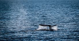 picture of whale-tail  - Gray whale watching in the Channel Islands near Ventura - JPG