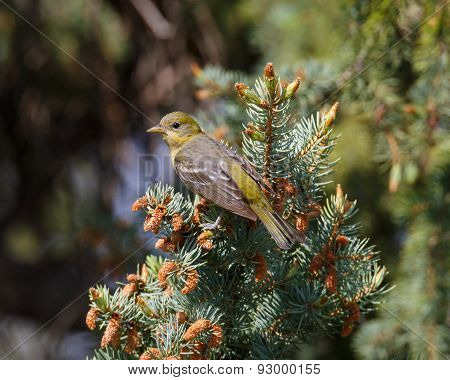 Female Western Tanager at rest