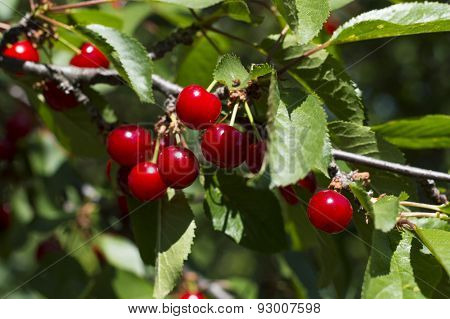 Branch Of Ripe Early Cherry