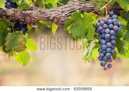 Ripe black grapes on the vine background