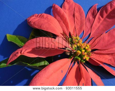 Poinsettia Flower On Blue Background In Sunlight