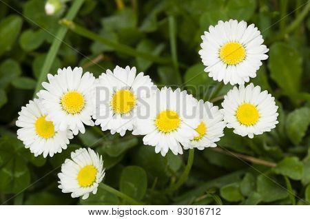 Daisies In Full Bloom