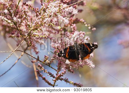 Admiral butterfly sucking on blossom of Tamarix tree