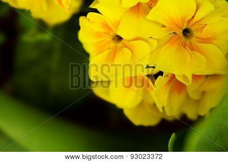 Macro Yellow Primrose.