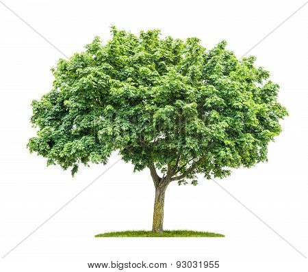 An Isolated Maple Tree On A White Background