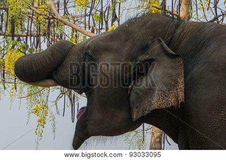 Elephant Yawn