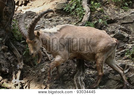 Male West Caucasian tur (Capra caucasica), also known as the West Caucasian ibex. Wildlife animal.