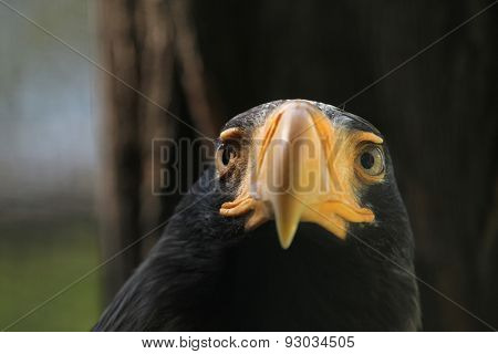 Steller's sea eagle (Haliaeetus pelagicus). Wildlife animal.