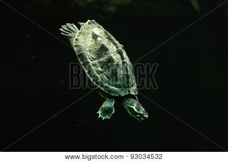Crowned river turtle (Hardella thurjii), also known as the brahminy river turtle.