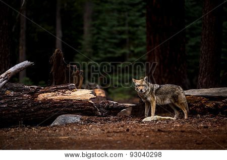 Wolf In Yosemite National Park