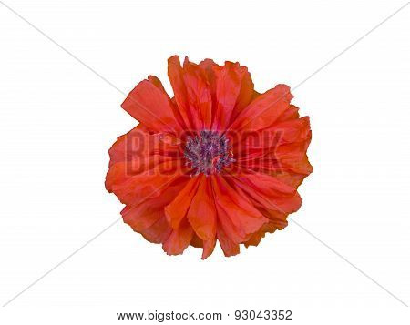 Single Terry Red Poppy Isolated On White