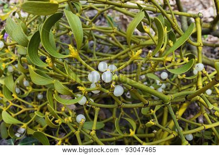 bush of mistletoe