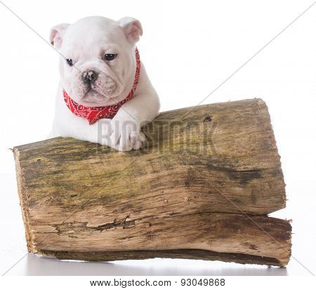 cute puppy - english bulldog puppy with paws up on a piece of cut wood on white background