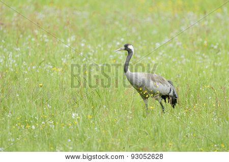 Common crane in grass.
