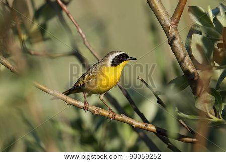 Male Common Yellowthroat, Canada
