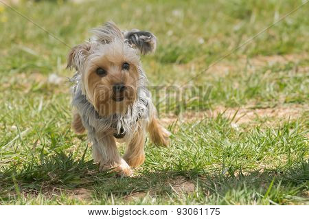 Happy yorkshire terrier running.