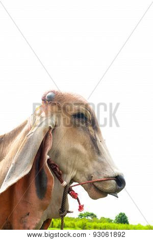 Cow Eating Grass With Tongue