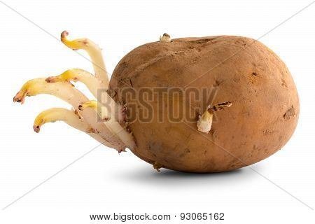 Germinating Potato