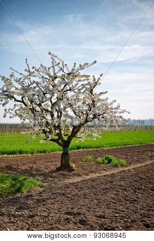 Apple tree covered in pretty fresh spring blossom standing in a ploughed field in an agricultural landscape symbolic of the new season