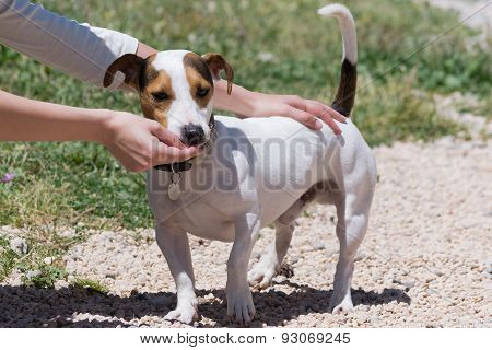 Girl feeding a jack russell dog.