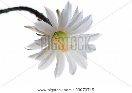 Flowering Cactus. White Flower Castus On White Background