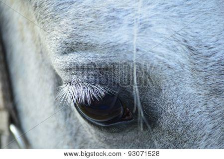 eyes gray horse