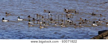 The Swarm Of Ducks