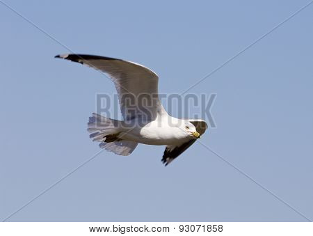 The Flying Gull's Close-up