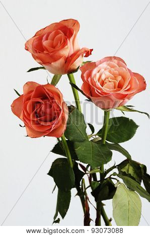 Three Pink Roses With Green Leaves